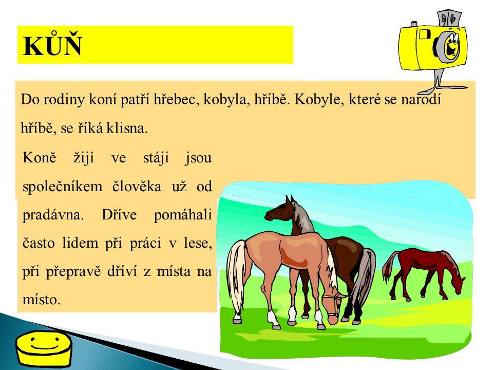 KŮŇ Do rodiny koní patří hřebec, kobyla, hříbě. Kobyle, které se narodí hříbě, se říká klisna.