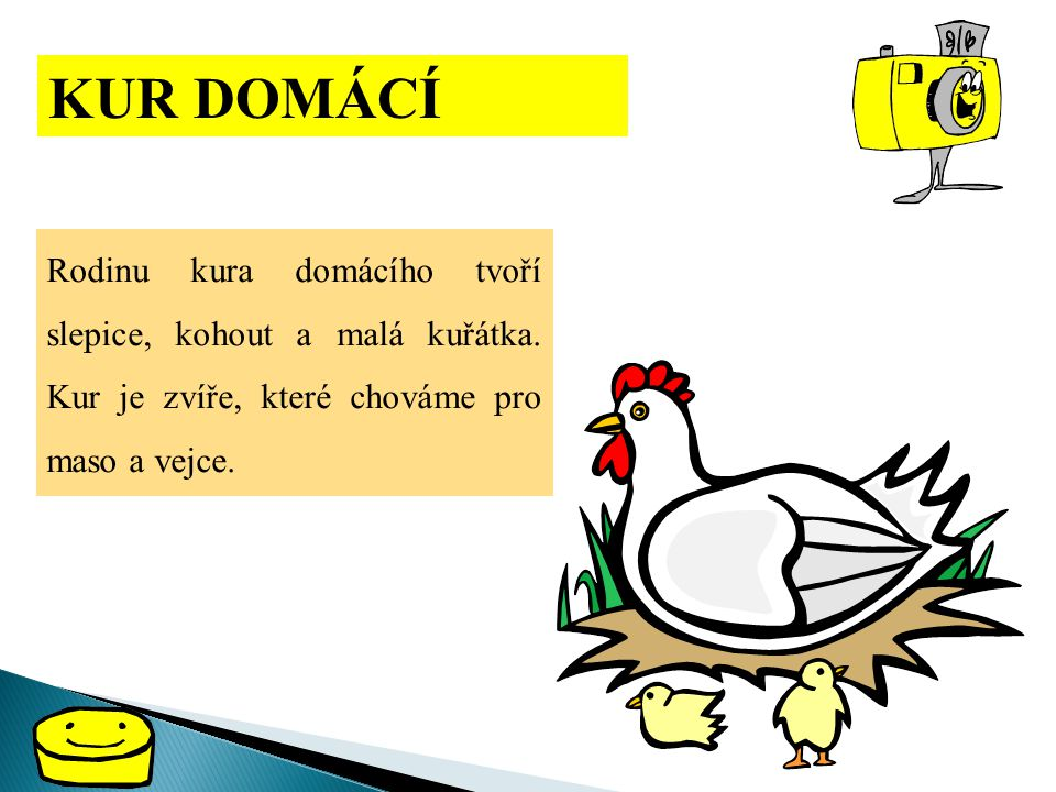 KUR DOMÁCÍ Rodinu kura domácího tvoří slepice, kohout a malá kuřátka.