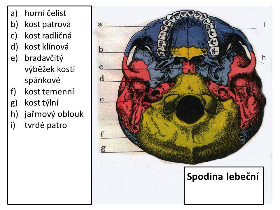 Spodina lebeční horní čelist kost patrová kost radličná kost klínová