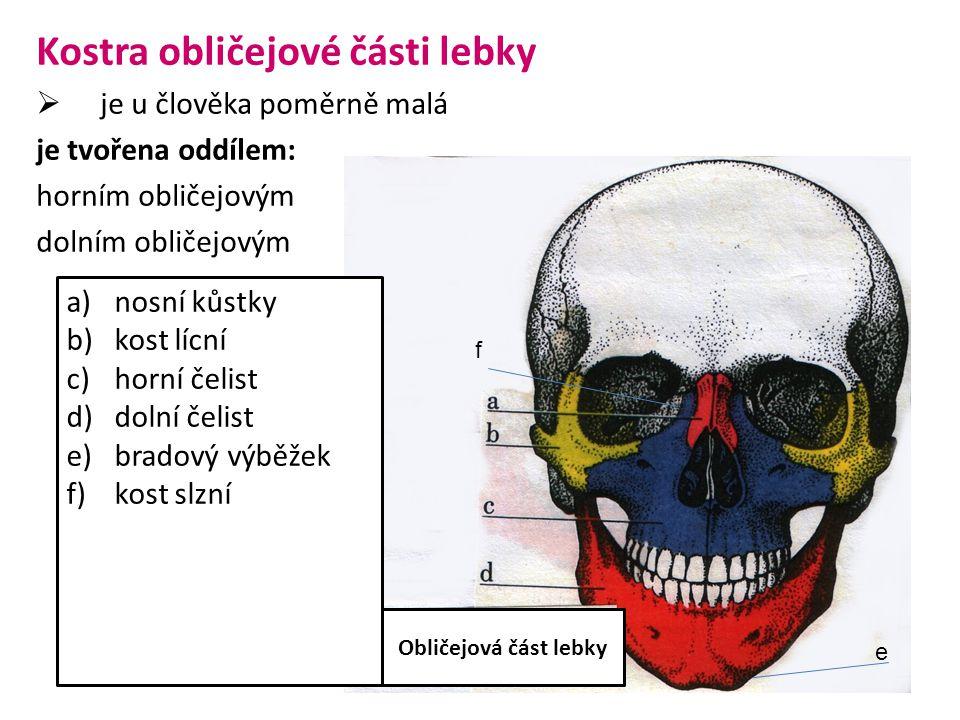 Kostra obličejové části lebky