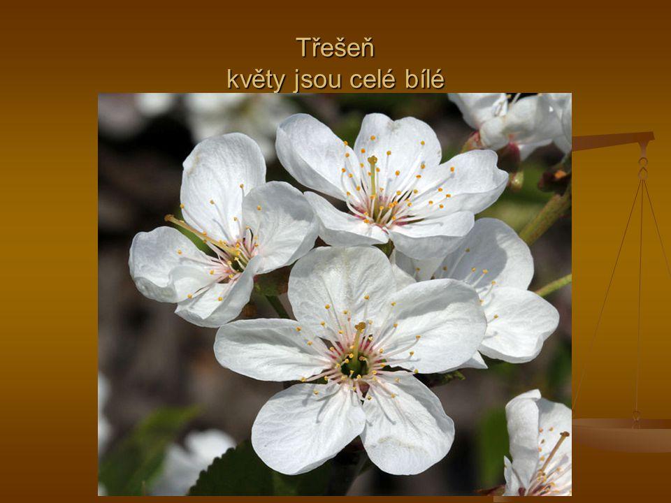 Třešeň květy jsou celé bílé
