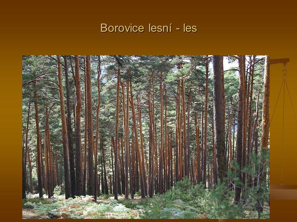 Borovice lesní - les