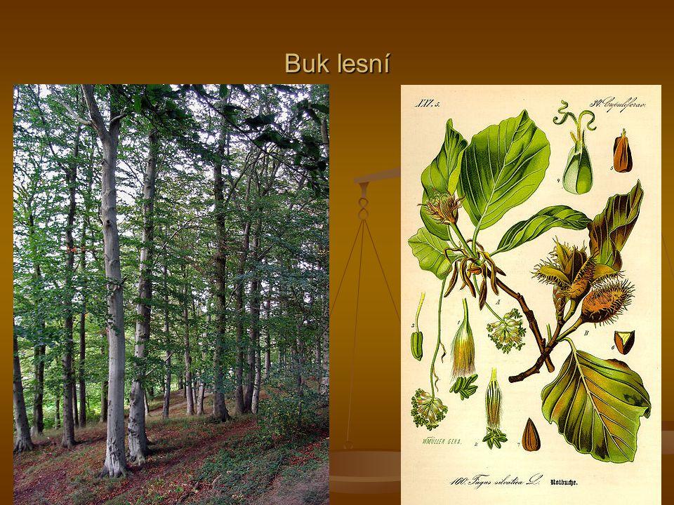 Buk lesní