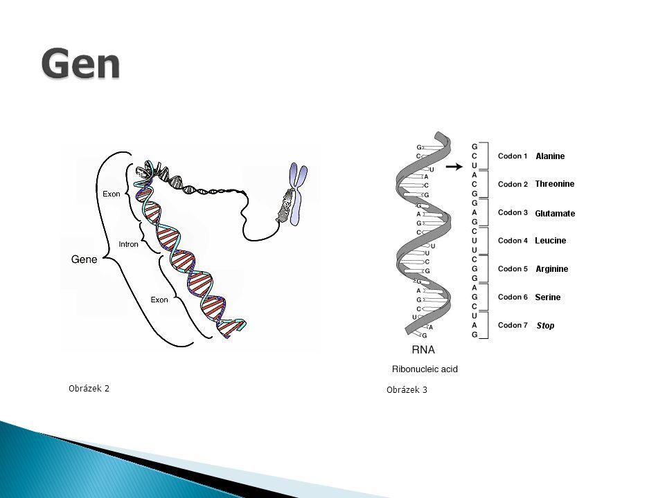 Gen Obrázek 2 Obrázek 3