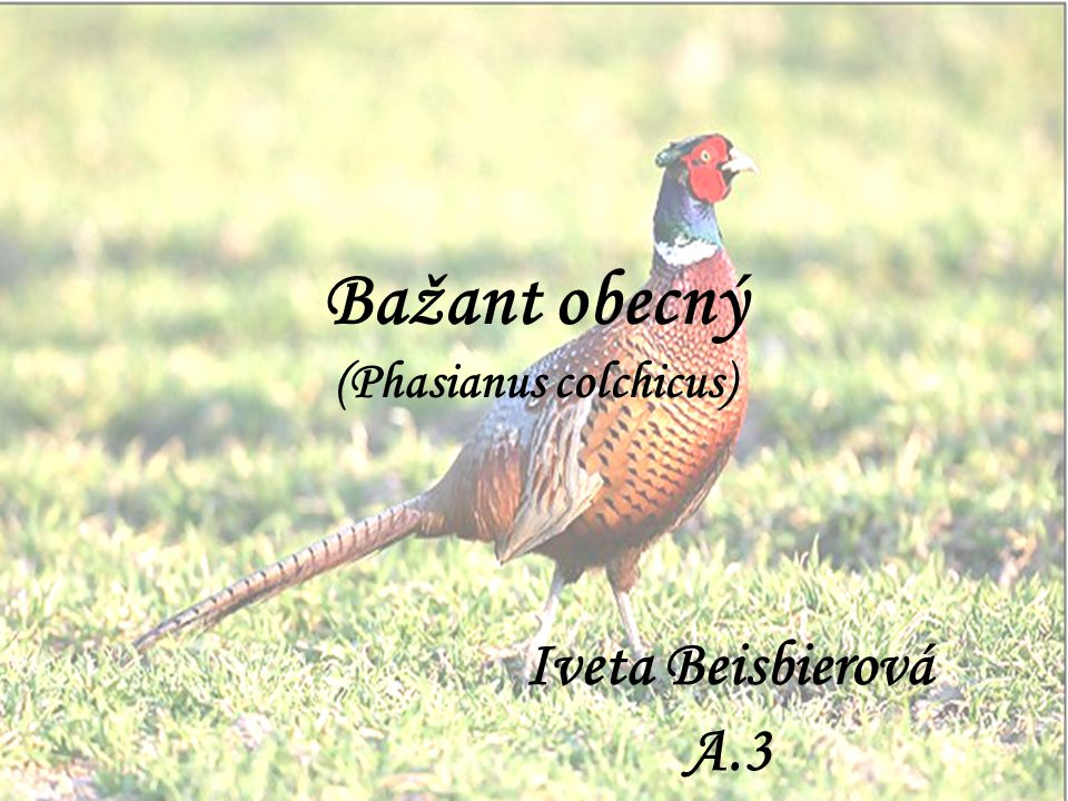 Bažant obecný (Phasianus colchicus)