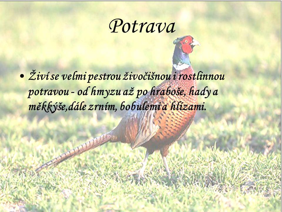 Potrava Živí se velmi pestrou živočišnou i rostlinnou potravou - od hmyzu až po hraboše, hady a měkkýše,dále zrním, bobulemi a hlízami.