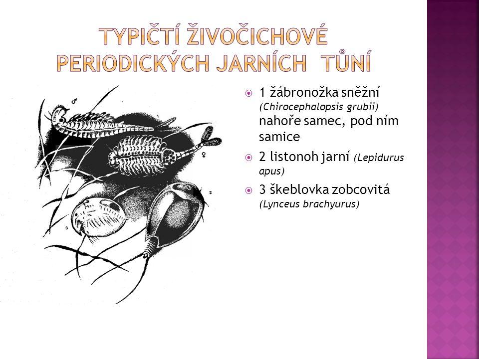 Typičtí živočichové periodických jarních tůní