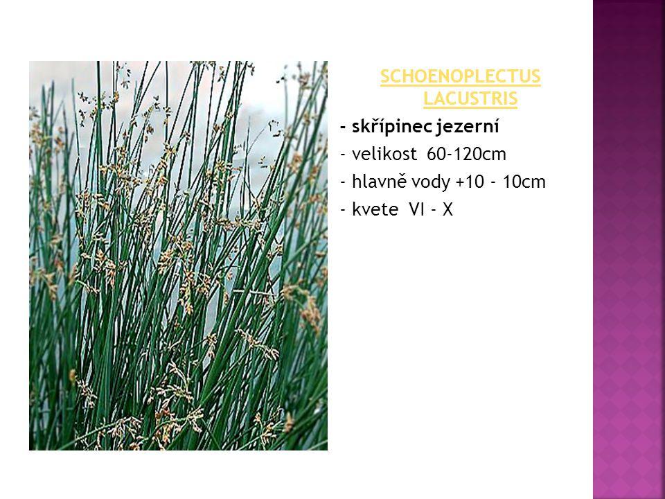 Schoenoplectus lacustris - skřípinec jezerní - velikost 60-120cm - hlavně vody +10 - 10cm - kvete VI - X