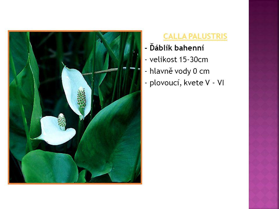 CALLA PALUSTRIS - Ďáblík bahenní - velikost 15-30cm - hlavně vody 0 cm - plovoucí, kvete V - VI