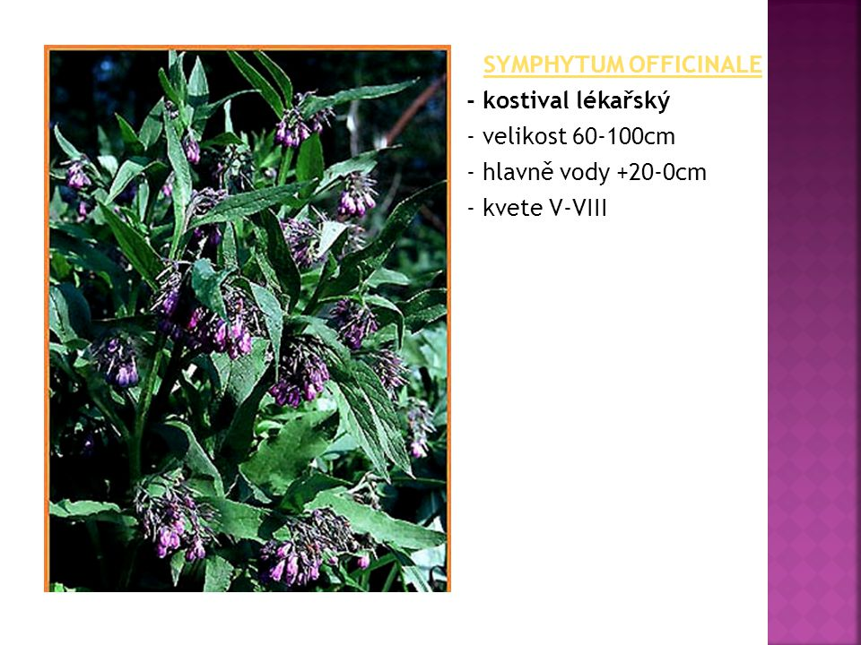 SYMPHYTUM OFFICINALE - kostival lékařský - velikost 60-100cm - hlavně vody +20-0cm - kvete V-VIII