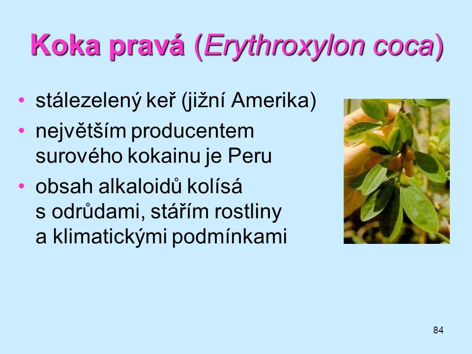 Koka pravá (Erythroxylon coca)