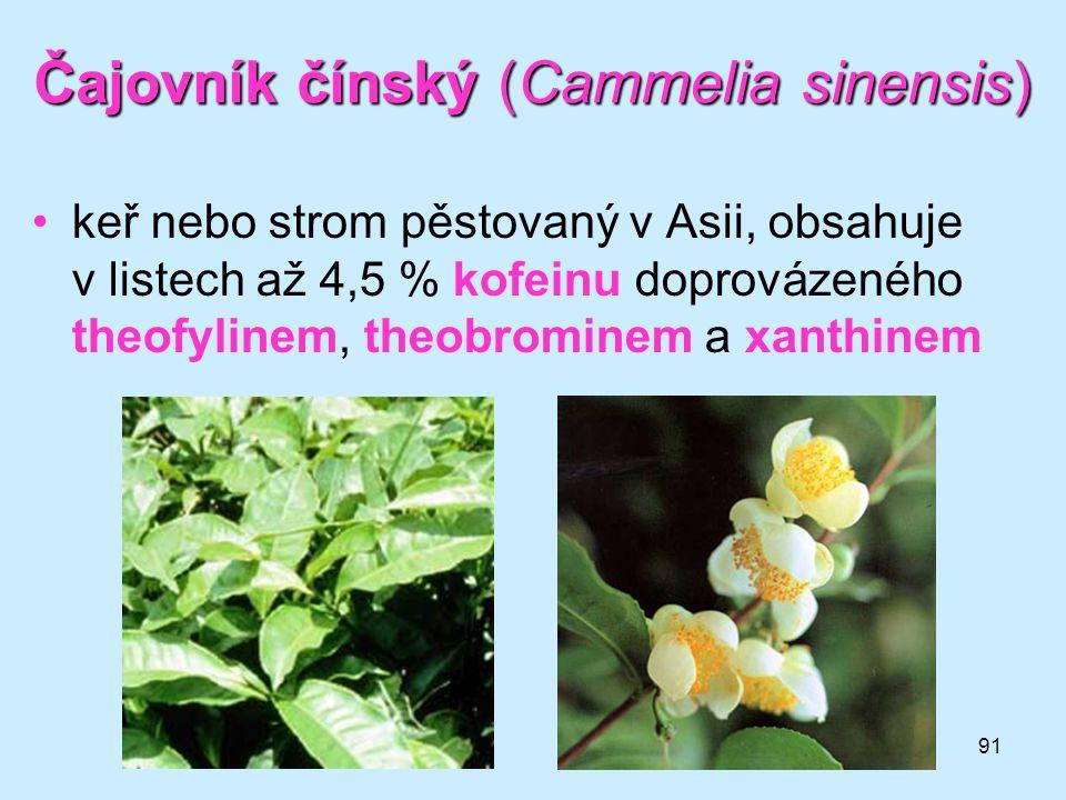 Čajovník čínský (Cammelia sinensis)