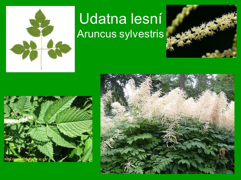 Udatna lesní Aruncus sylvestris