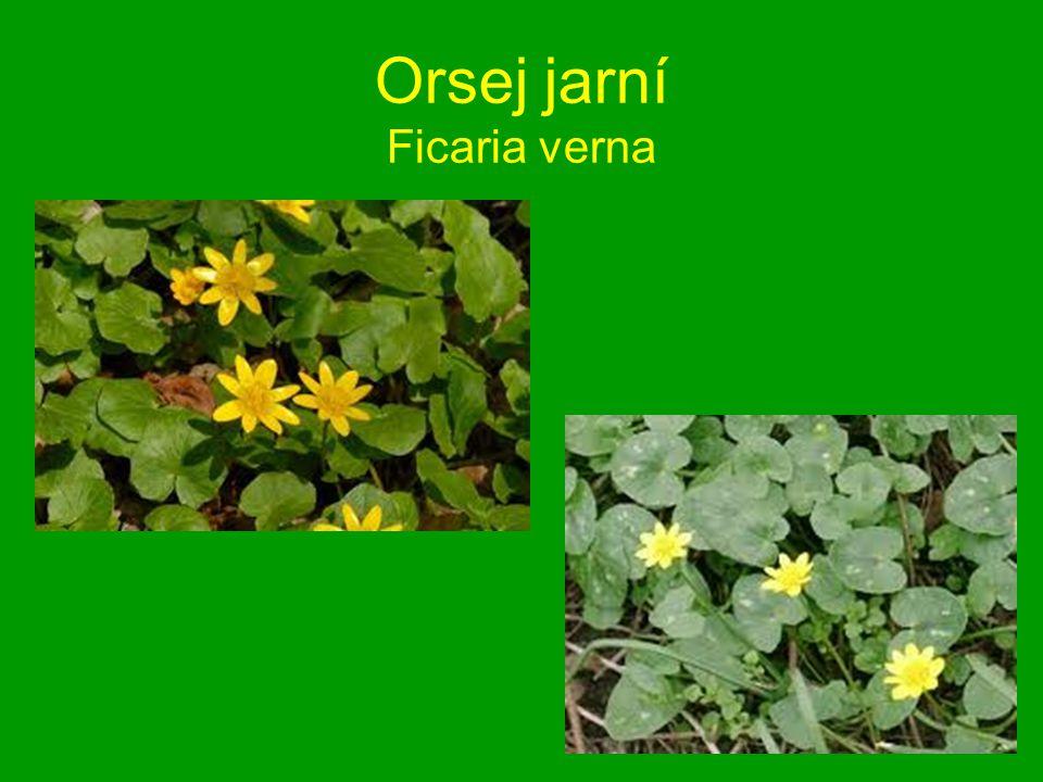 Orsej jarní Ficaria verna