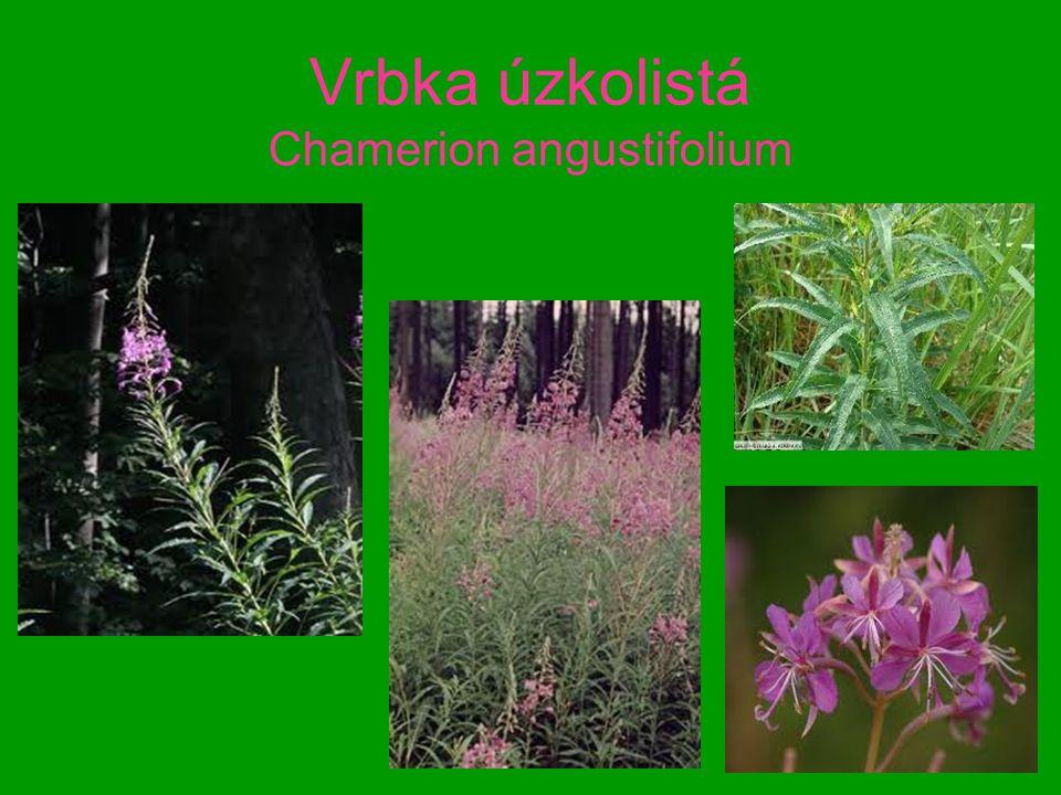 Vrbka úzkolistá Chamerion angustifolium