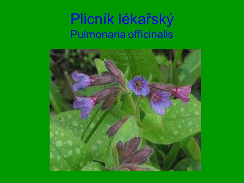 Plicník lékařský Pulmonaria officinalis