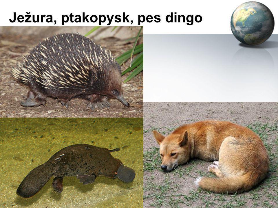 Ježura, ptakopysk, pes dingo