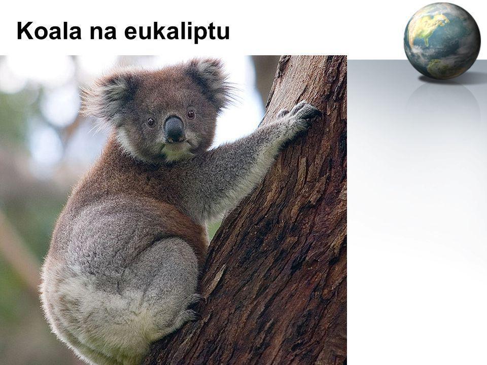 Koala na eukaliptu