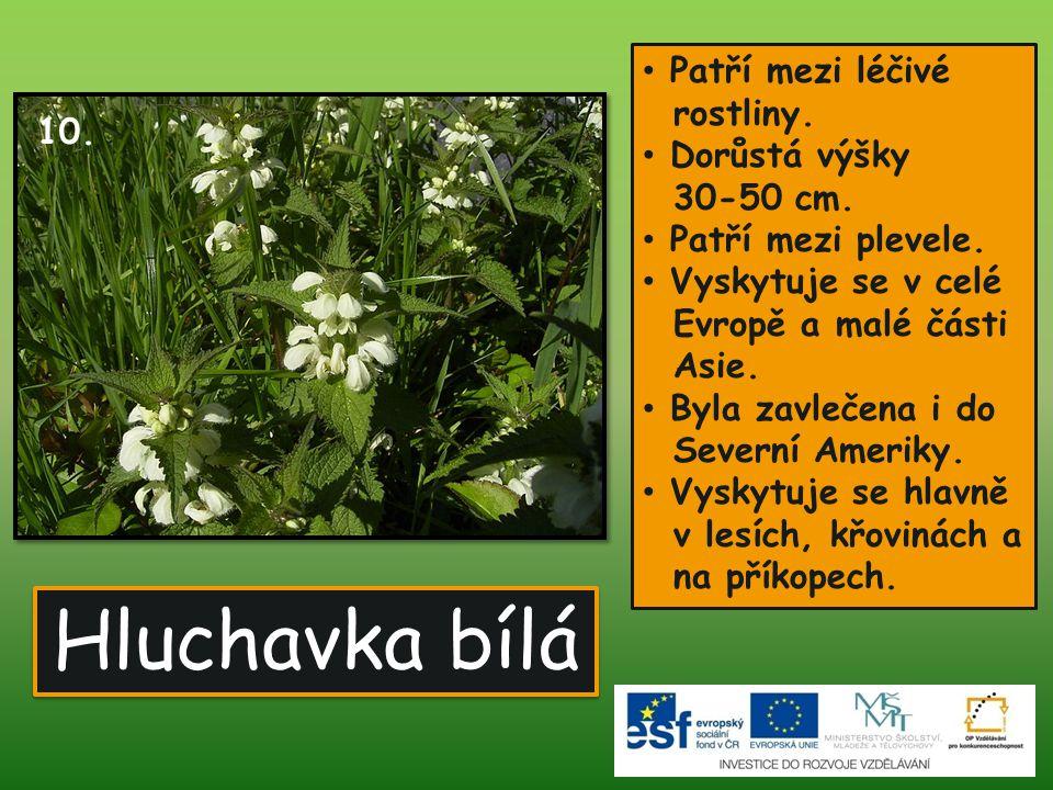 Hluchavka bílá Patří mezi léčivé rostliny. Dorůstá výšky 30-50 cm. 10.