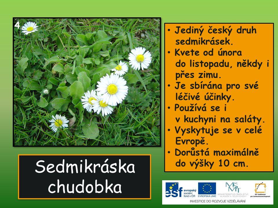 Sedmikráska chudobka 4. Jediný český druh sedmikrásek.