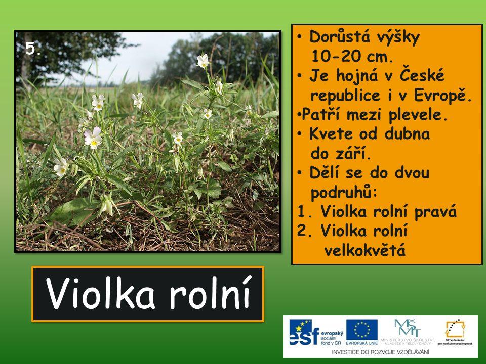 Violka rolní Dorůstá výšky 10-20 cm. 5. Je hojná v České