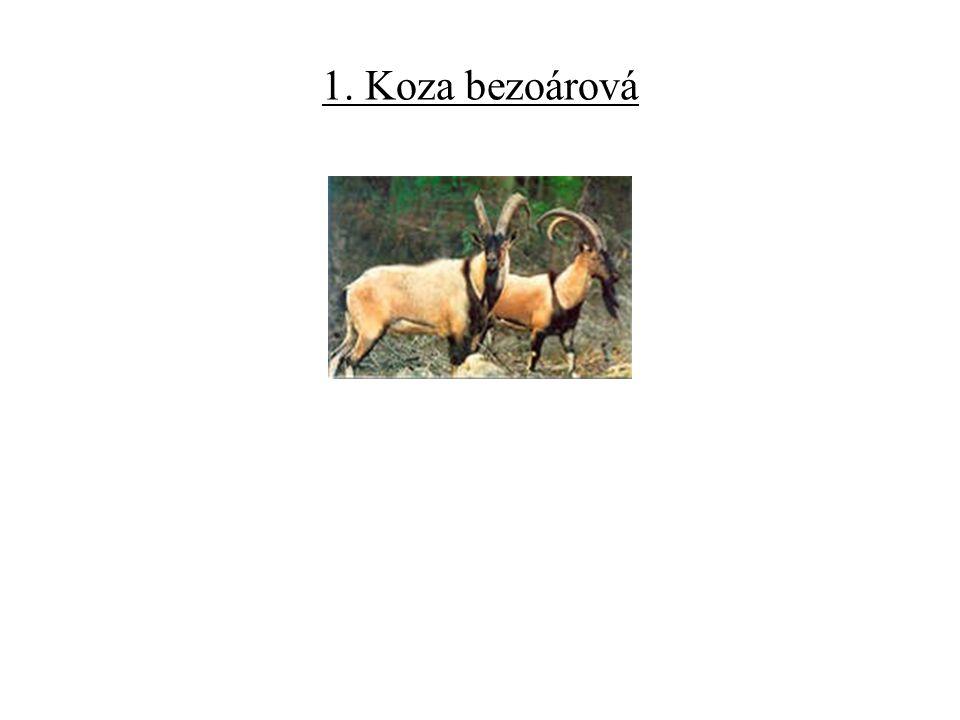 1. Koza bezoárová
