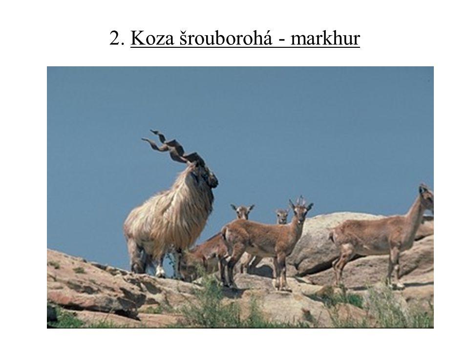 2. Koza šrouborohá - markhur