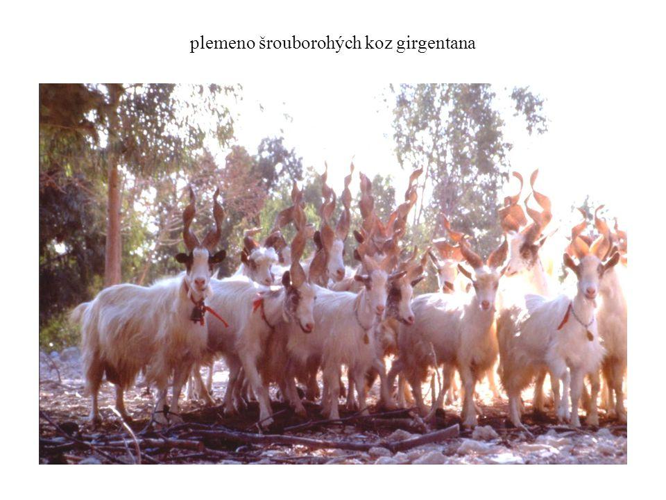 plemeno šrouborohých koz girgentana
