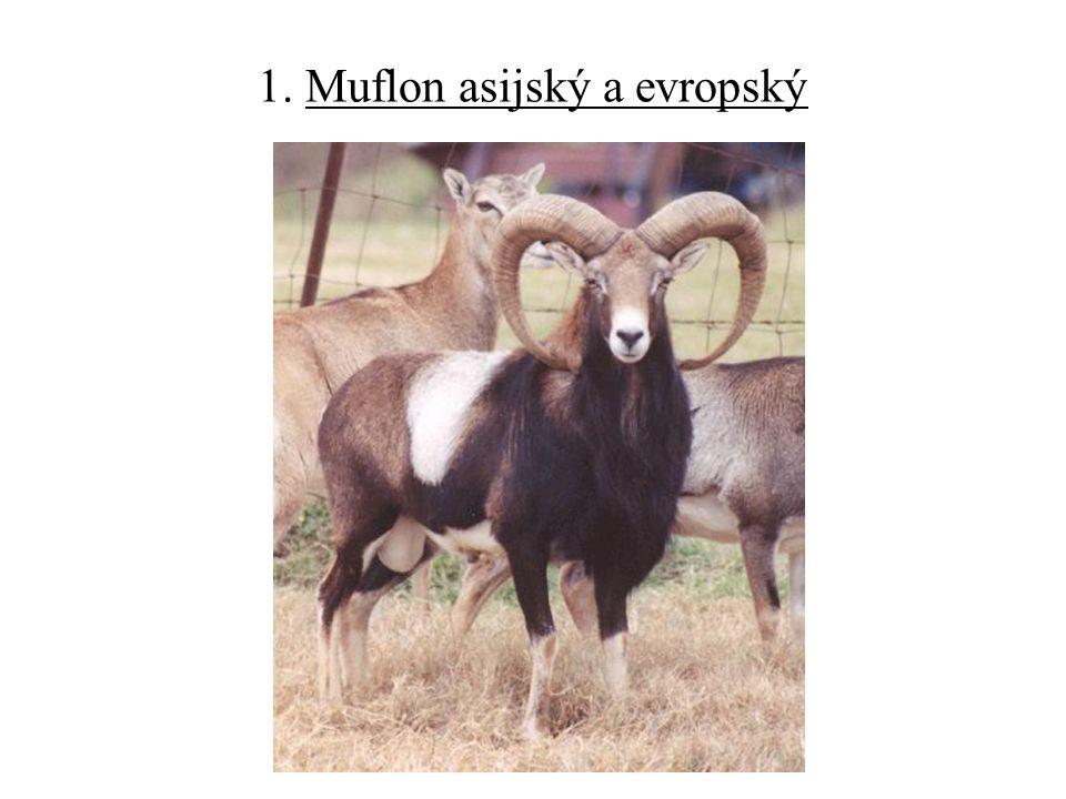 1. Muflon asijský a evropský