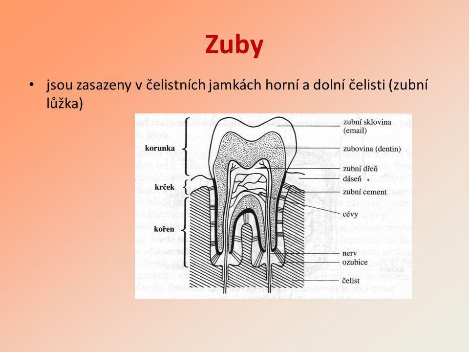 Zuby jsou zasazeny v čelistních jamkách horní a dolní čelisti (zubní lůžka)