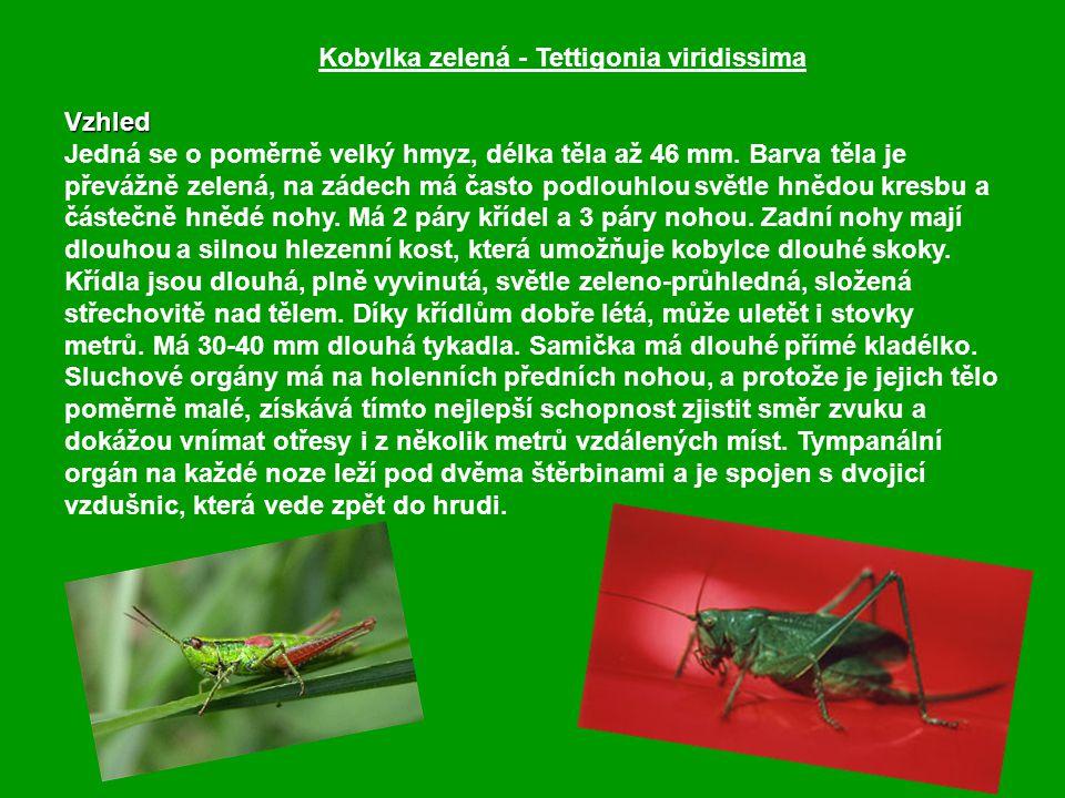 Kobylka zelená - Tettigonia viridissima