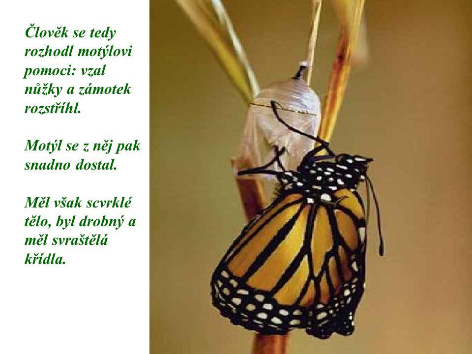 Člověk se tedy rozhodl motýlovi pomoci: vzal nůžky a zámotek rozstříhl.
