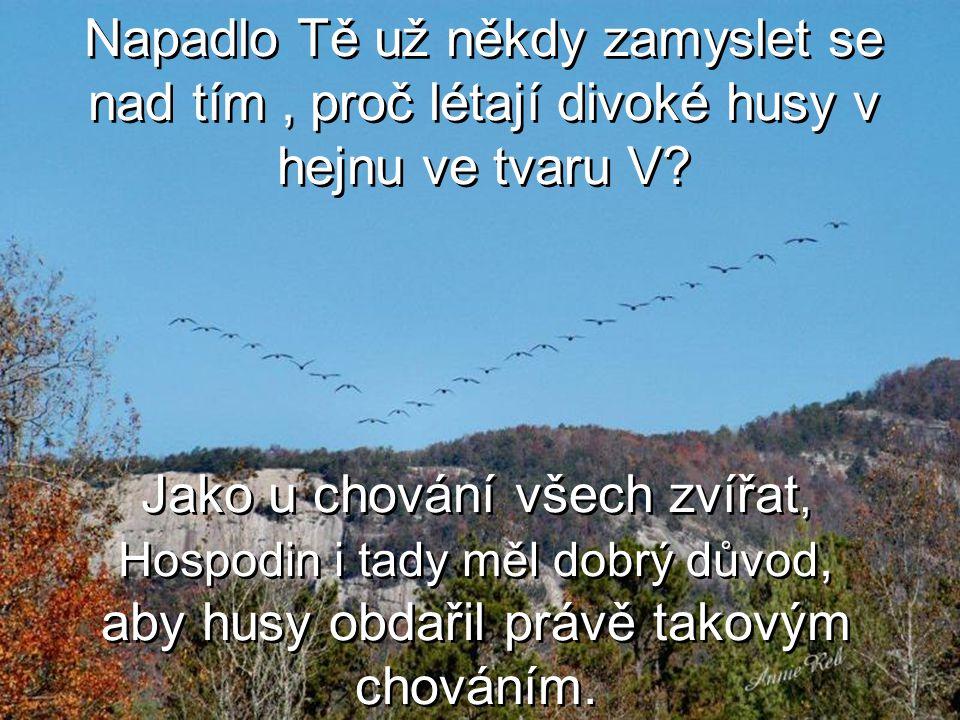 Napadlo Tě už někdy zamyslet se nad tím , proč létají divoké husy v hejnu ve tvaru V
