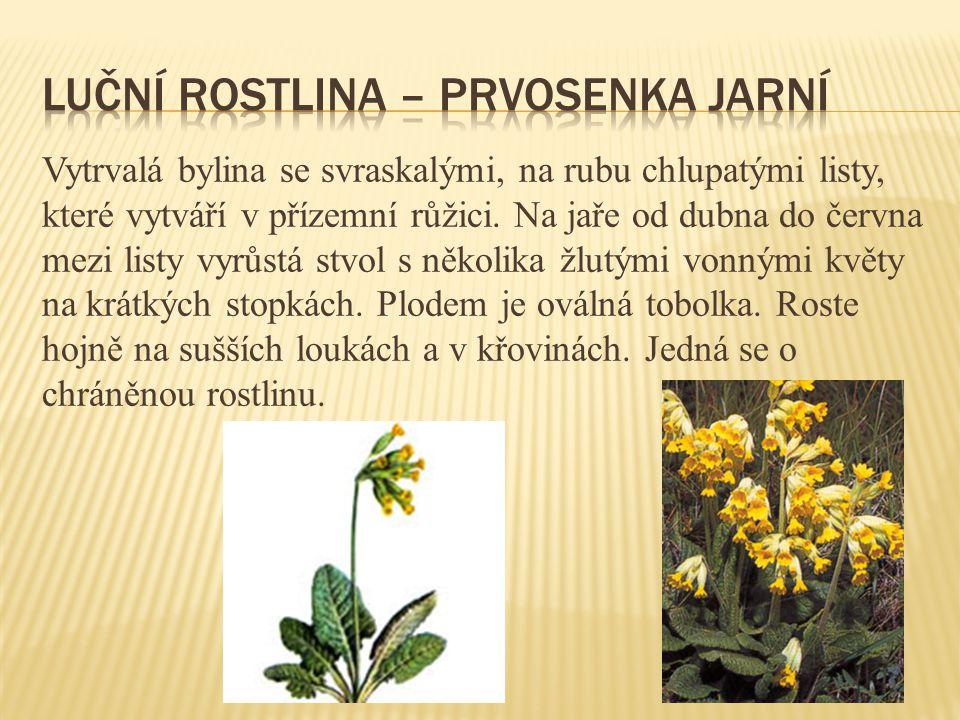 Luční rostlina – prvosenka jarní