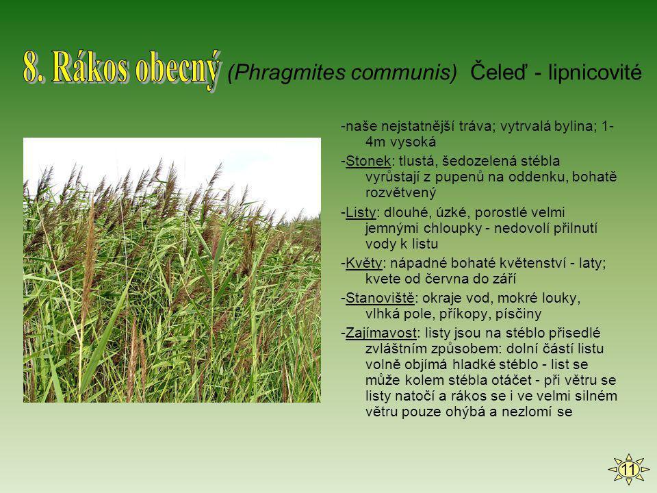 8. Rákos obecný (Phragmites communis) Čeleď - lipnicovité 11