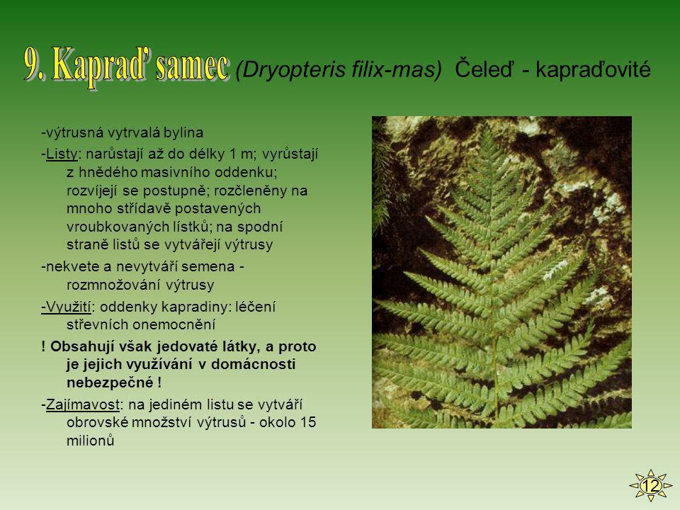 9. Kapraď samec (Dryopteris filix-mas) Čeleď - kapraďovité 12