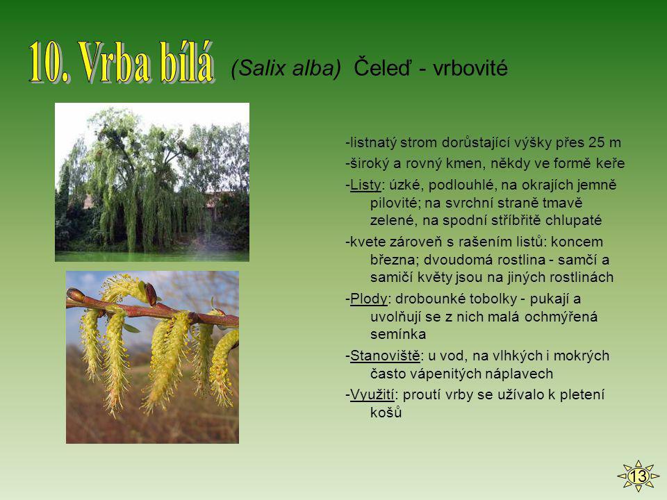 10. Vrba bílá (Salix alba) Čeleď - vrbovité 13