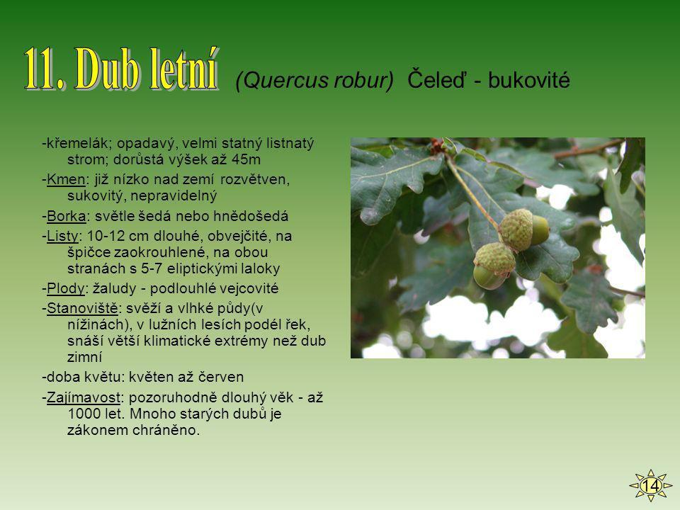 11. Dub letní (Quercus robur) Čeleď - bukovité 14