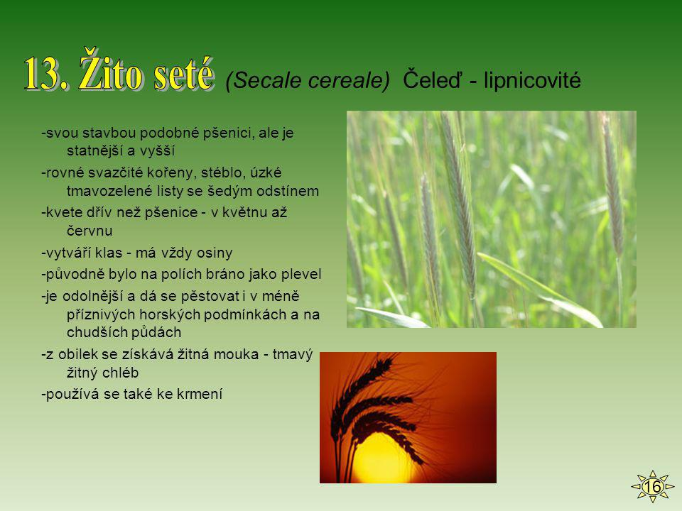 13. Žito seté (Secale cereale) Čeleď - lipnicovité 16