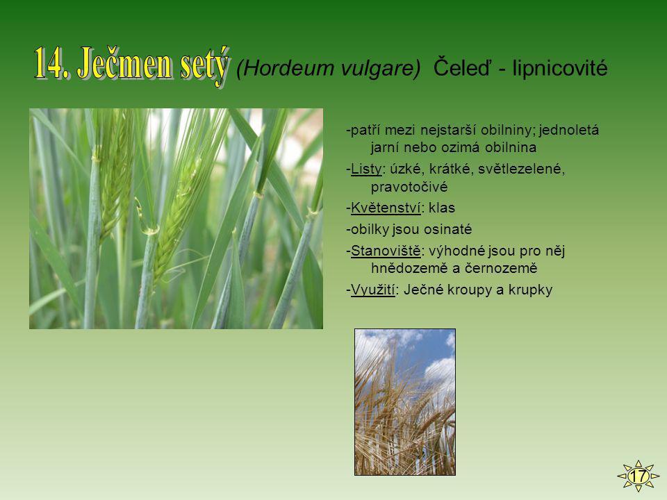 14. Ječmen setý (Hordeum vulgare) Čeleď - lipnicovité 17