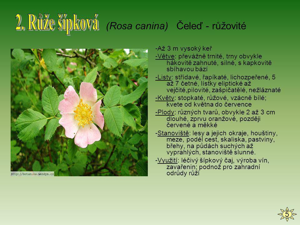 2. Růže šípková (Rosa canina) Čeleď - růžovité 5 -Až 3 m vysoký keř