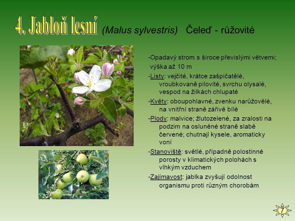 4. Jabloň lesní (Malus sylvestris) Čeleď - růžovité 7