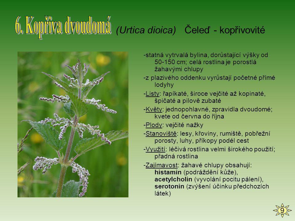 6. Kopřiva dvoudomá (Urtica dioica) Čeleď - kopřivovité 9