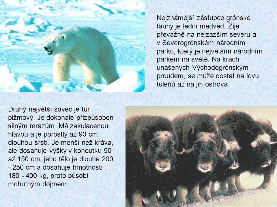 Nejznámější zástupce grónské fauny je lední medvěd