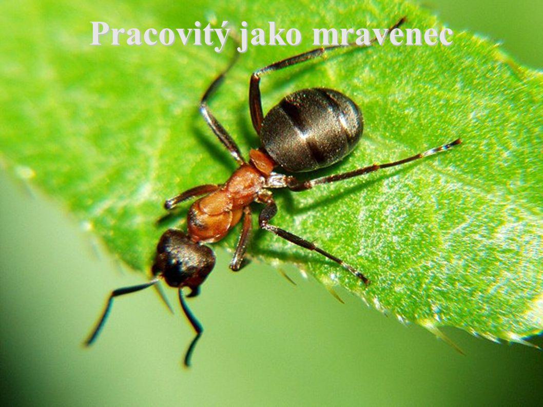 Pracovitý jako mravenec