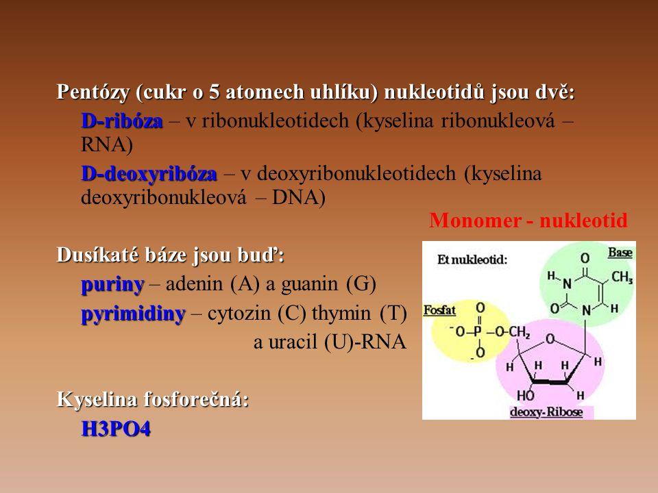 Pentózy (cukr o 5 atomech uhlíku) nukleotidů jsou dvě: