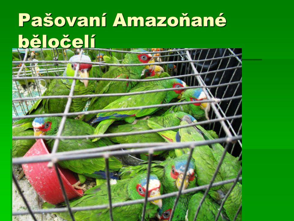 Pašovaní Amazoňané běločelí