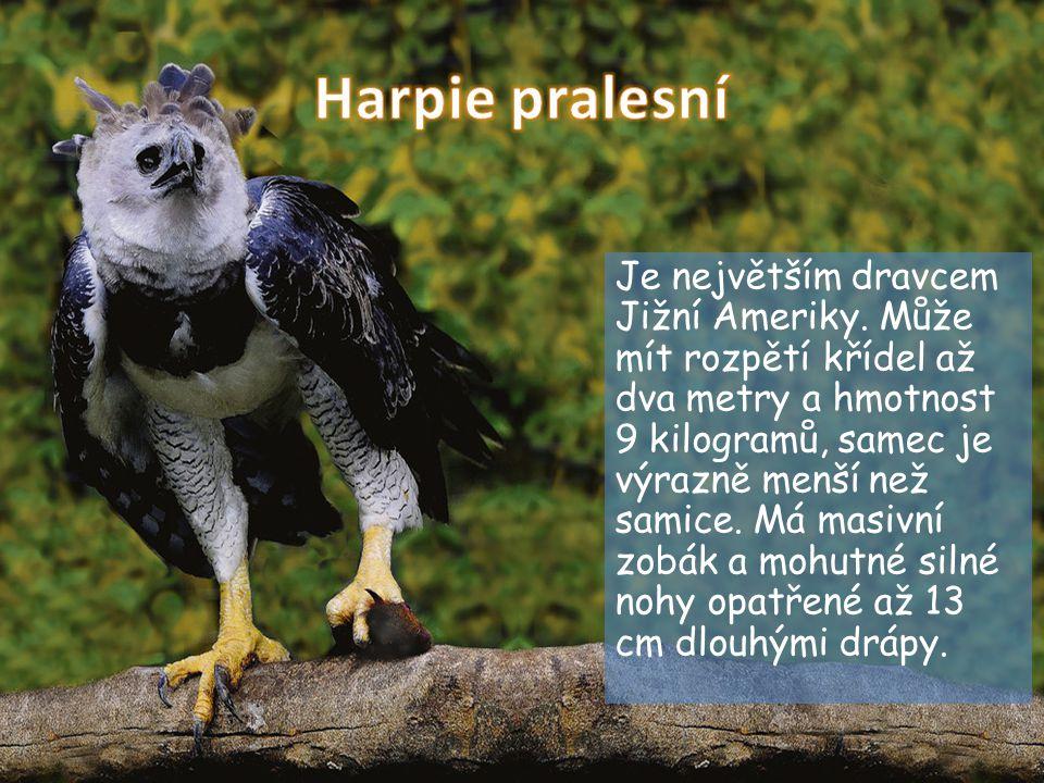 Harpie pralesní