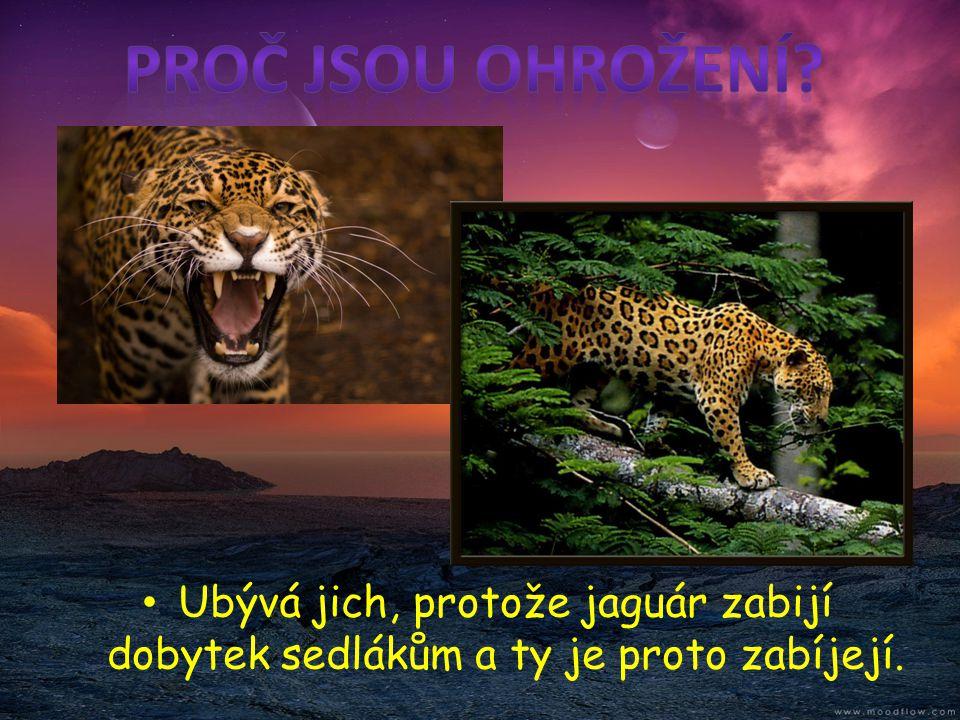 Proč jsou ohrožení Ubývá jich, protože jaguár zabijí dobytek sedlákům a ty je proto zabíjejí.