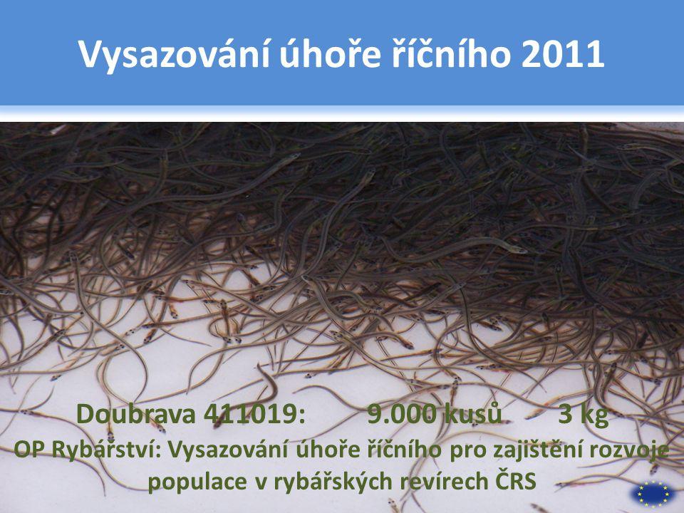 Vysazování úhoře říčního 2011